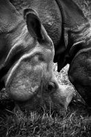 Greater One-Horned Asian Rhinoceros 2 by robertllynch