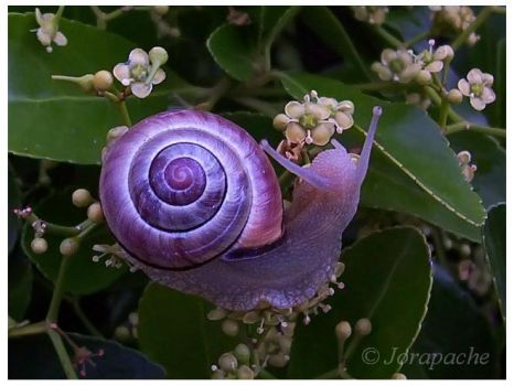 Purple snail by Jorapache