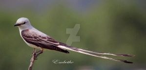 Scissored-Tailed Fly Catcher by embethe