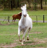 Arab trot front on by Chunga-Stock