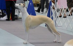 Fawn Whippet Stock 1 by VersaFarm