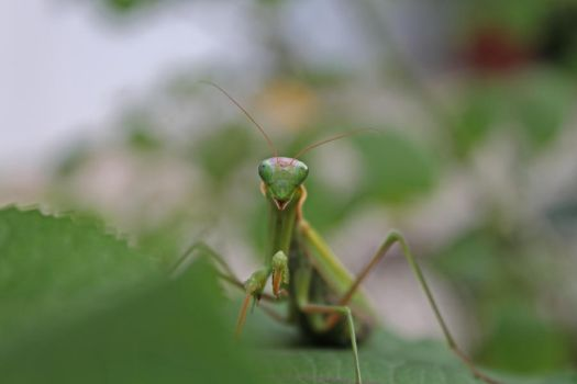 Praying mantis by wopsow