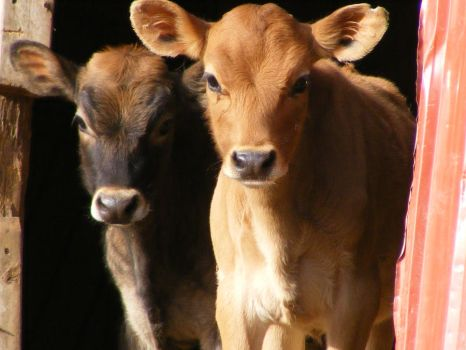 two jersey calves by RodeoDreamer