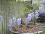 More Wisteria by kenlybop