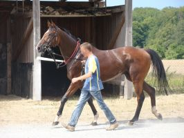 Handler leading a bay Thoroughbred Race Horse by LuDa-Stock