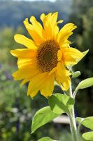 Sunflower Nr. 20 by OfTheDunes