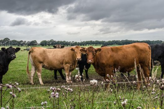 Cows by HelpTechCona