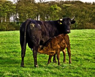 Cow And Calf by ERNIE99UK