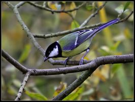 Great Tit by cycoze