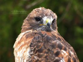 Red Tailed Hawk 428 by caybeach