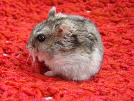 My little hamster by Latinae