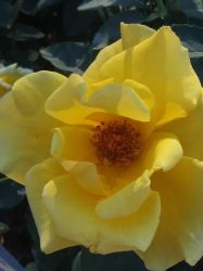 Yellow Rose 3 by WysteriaCampion913