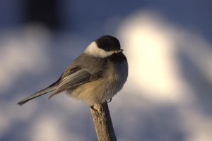 Black-capped Chickadee by dove-51
