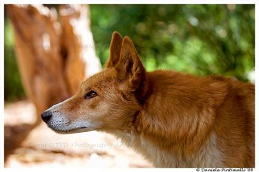 Dingo by TVD-Photography