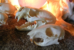 Otter And Squirrel Skulls by WildSpiritWolf