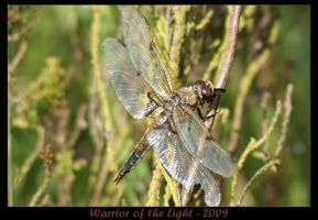 Four-spotted Chaser 1 by WotL