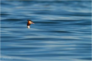 Great Crested Grebe by ClaudeG