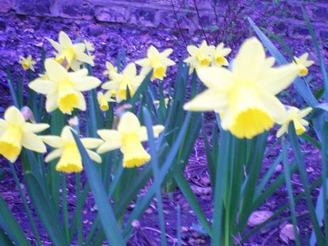 narcissus by a-Soper