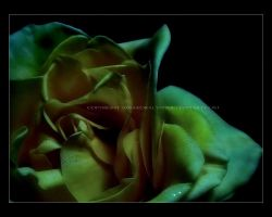 A Rose is a Rose by kedralynn