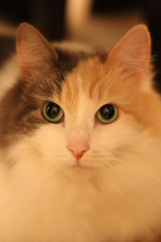 Calico Cat Stock 6 by ManipulatedAngel