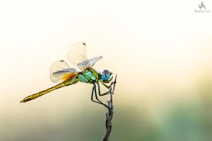 Dragonfly Sympetrum Fonscolombii #3 by VitoDesArts