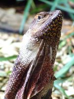 frilled neck lizard by Monk3Girl
