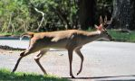 Whitetail Deer 33 by MountainViewStock