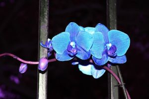 Orchid by Twilight12Galaris