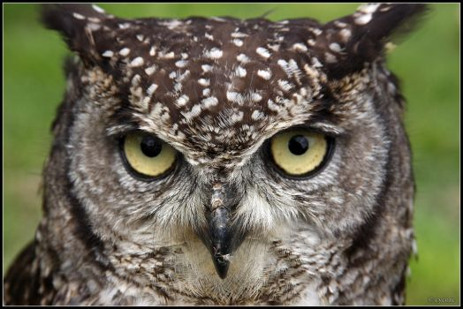 Spotted Eagle-Owl by cycoze