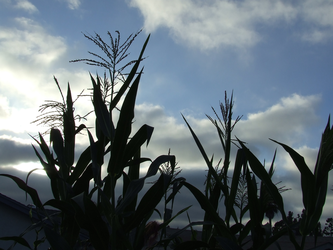 Garden Stock Corn shadowed by dtf-stock