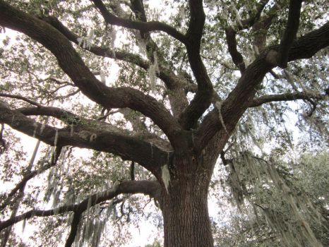 Oak Tree Branches by graceofbass