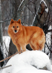 Finnish Spitz by riipi