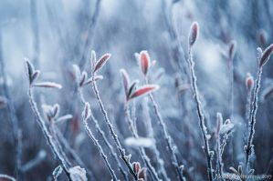 Frosted Leaves II by amrodel