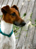Smooth Fox Terrier Portrait by WolfScribe