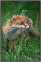 Snooty Fox by CoupeKid