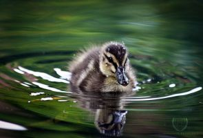 Duckling by C-petersen