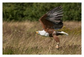 African Fish Eagle by Neutron2K