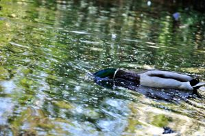 duck from parallel world by Northern-beauty