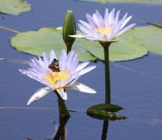 Water Lily 01 by aussiegal7