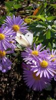 Asters with butterfly by OfTheDunes