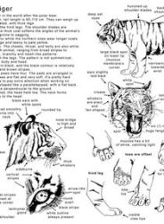 How to draw the Tiger - in Eng by Elruu