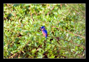 Oz06 - 17 - Kingfisher 02 by Keith-Killer