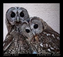 Tawny owls pair by Psamophis