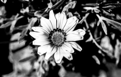 Black and white shot of a daisy flower by Karaul