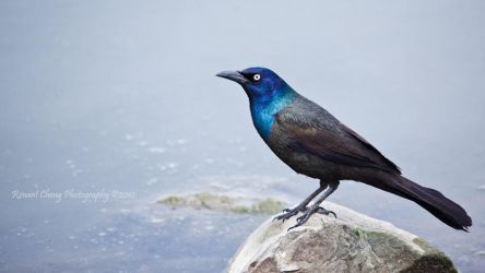 Grackle in the Mist by RHCheng