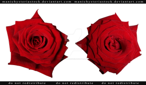 Red Rose cut out stock 3 by ManicHysteriaStock