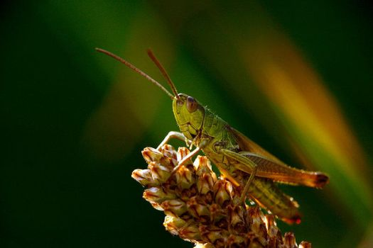 Orthoptera by EasyRider0050