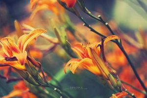 Lily by Paulinaz