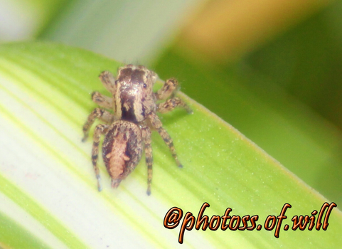 Jumping spider on a spider plant (3) by PhotossOfWill