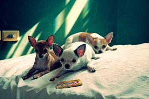 The Chihuahua Gang by n724